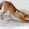 Dingo Stretching Postcard – Single Card